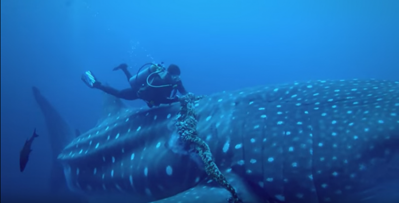 Mergulhador resgata um tubarão-baleia