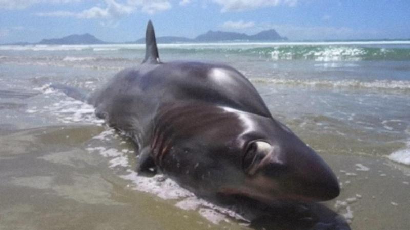 Tubarão corcunda
