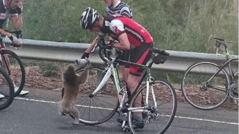 Ciclista partilha água com coala