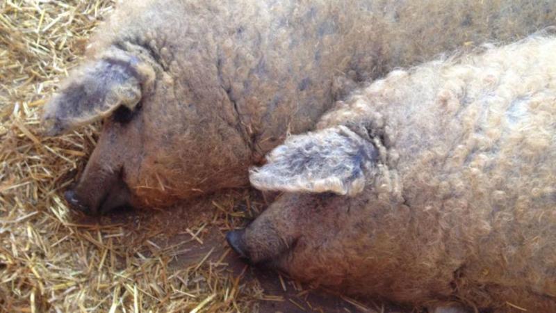 Empresa espanhola salva porco-ovelha da extinção