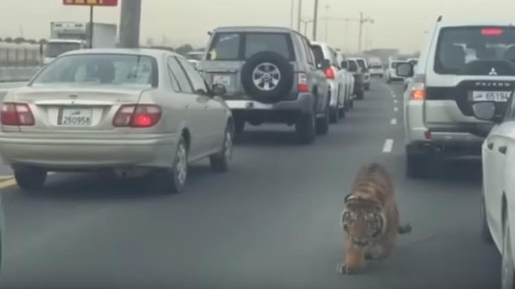 Tigre à solta numa estrada