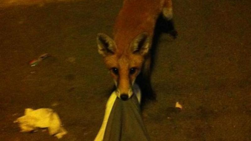 Britânico acorda com raposa a roer-lhe as calças