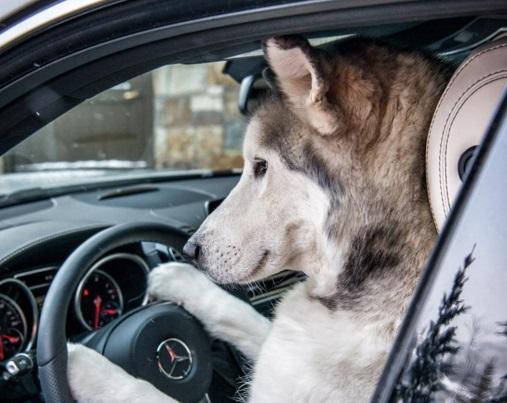 Loki, o cão lobo