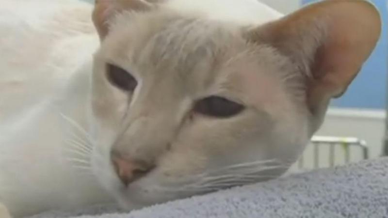 Gato enviada pelo correio por donos sobrevive oito dias dentro de caixa