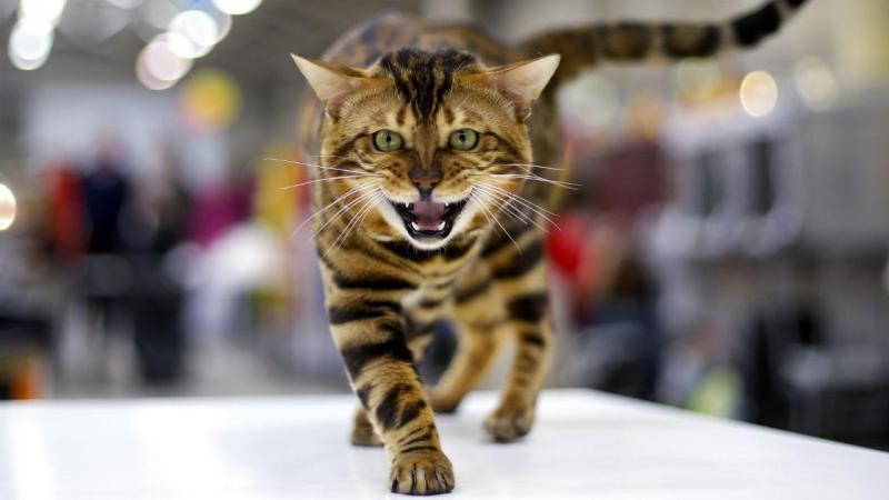 Os gatos mais belos do mundo estiveram em Roma