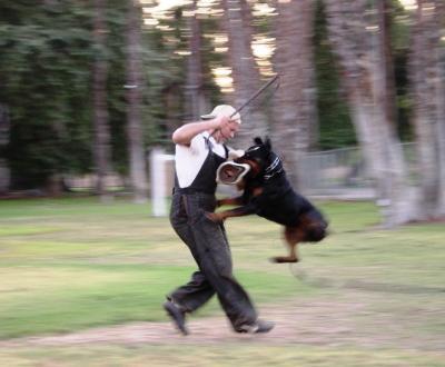 Rottweiler a ser treinado [Arquivo]