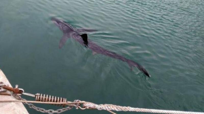 Tubarão de Portopí foi libertado em alto-mar