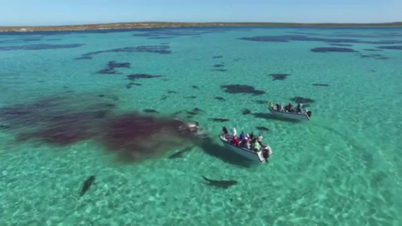 Vídeo mostra tubarões a alimentarem-se de uma baleia morta [Foto: Reprodução: Facebook]
