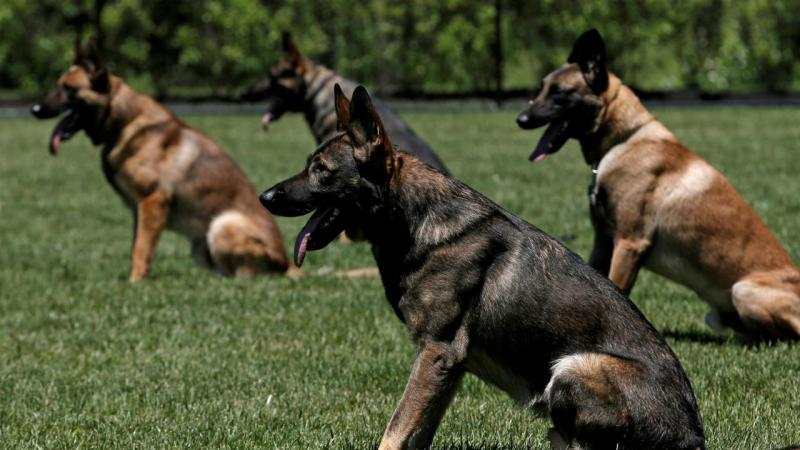 Polícia norte-americana treina cães para encontrarem explosivos