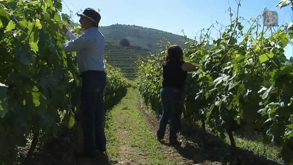 Doenças atacaram vinhas do Douro