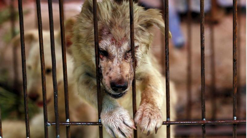 Cães resgatados dias antes de festival de carne canina