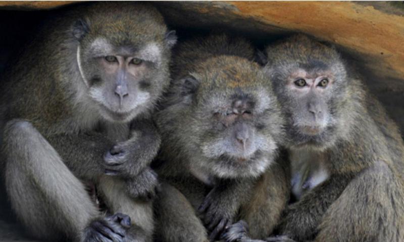 Os primatas são a espécie que mais transmite virus aos humanos