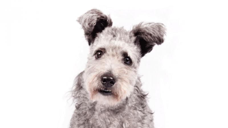 Cão Pumi