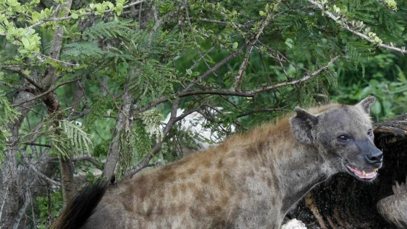 Hiena no Kruger Park