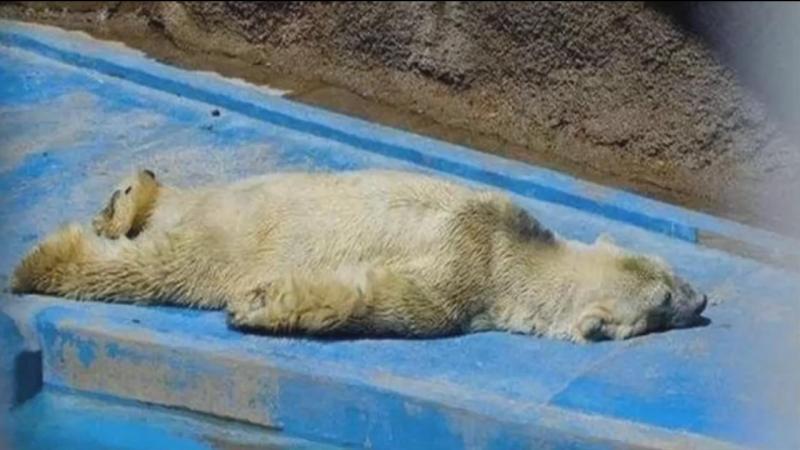 Morreu o urso polar mais triste do mundo