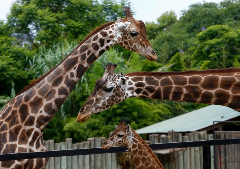 Girafa: Mal nascem têm que sobreviver a uma queda de cerca de dois metros. Mal caiem ao chão, a girafa-mãe força as crias a levantar, chutando-as e empurrando-as, com medo de terem que enfrentar predadores.