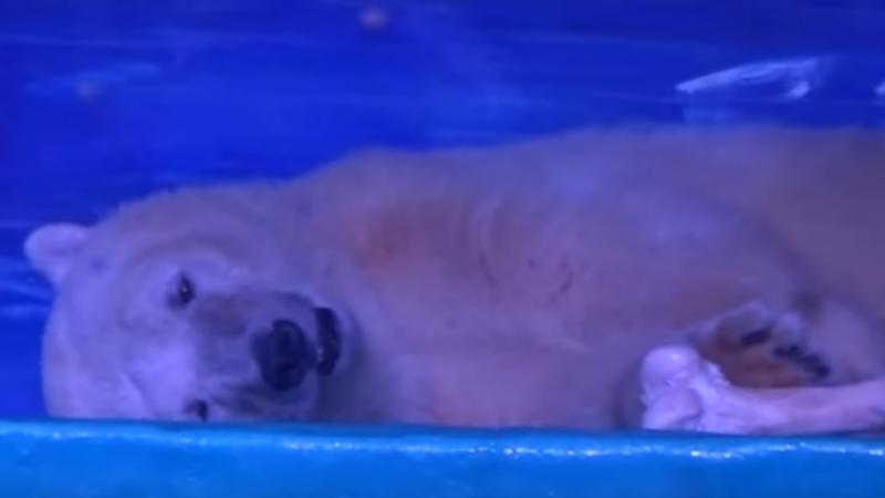 Urso polar preso em centro comercial na China.