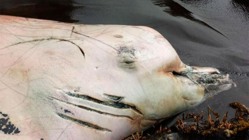 Descoberta nova espécie de baleia no Oceano Pacífico