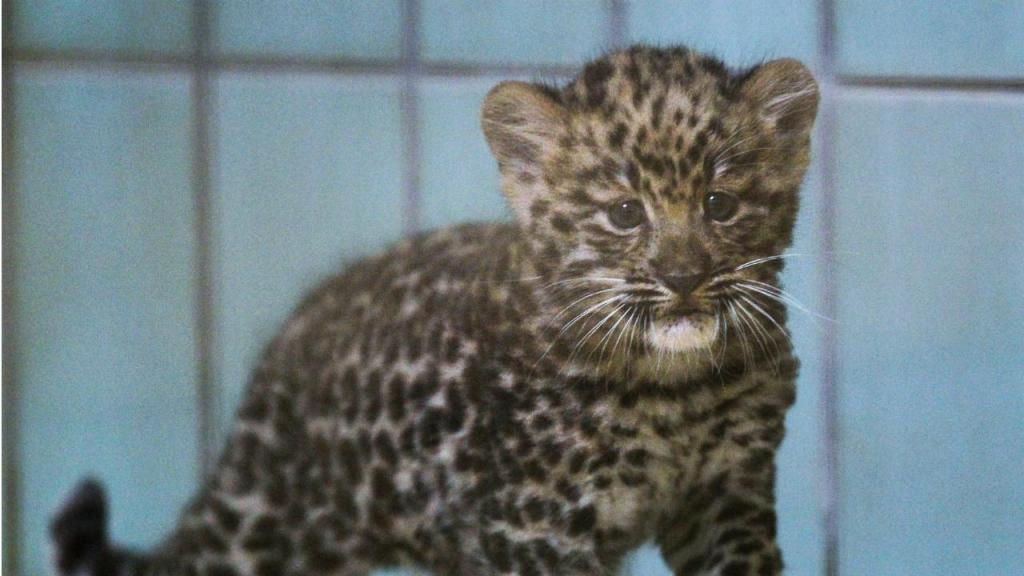 Cria de leopardo-de-amur
