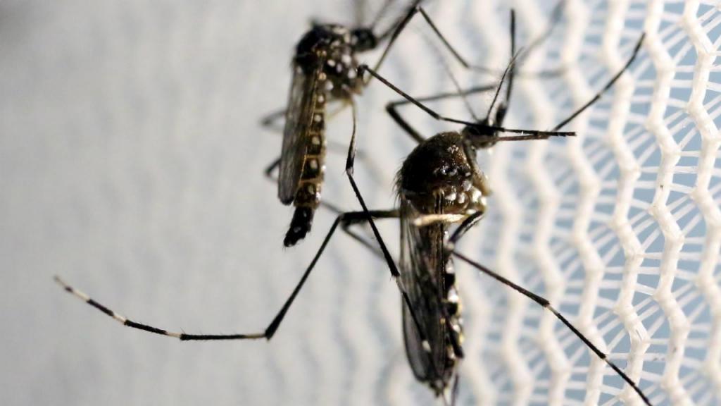 Mosquito Aedes Aegypti