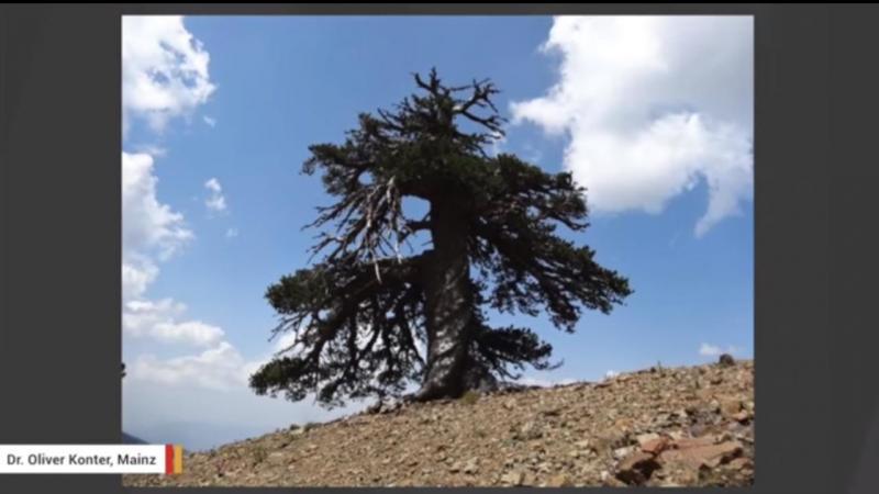 Árvore mais antiga da Europa