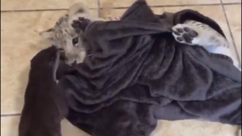 Tigre e lontra brincam juntos