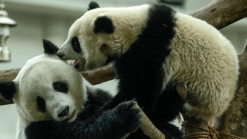 Uma festa para pandas