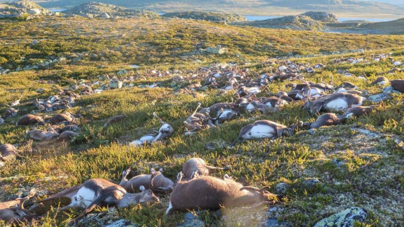 Noruega: raios matam mais de 300 renas