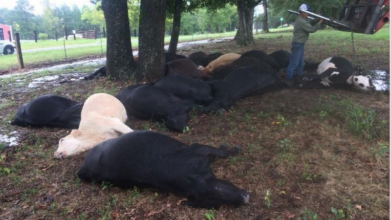 Vacas morrem por causa de relâmpago