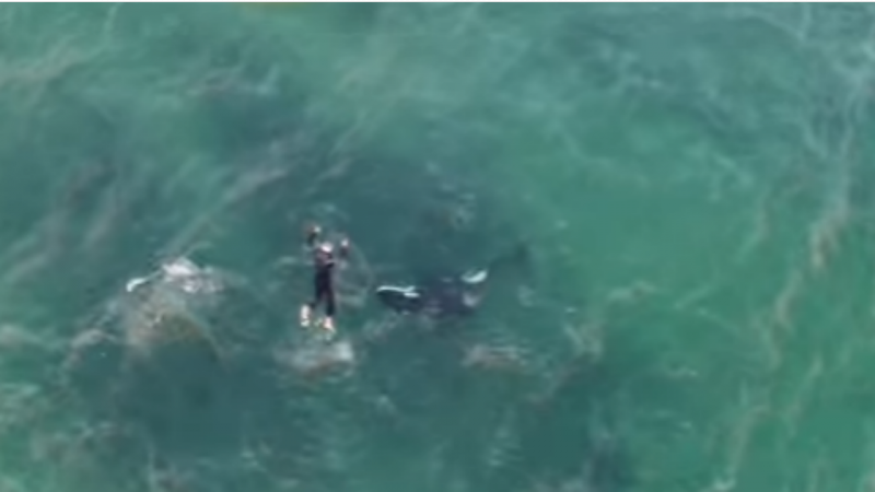 Canoísta a nadar com uma orca
