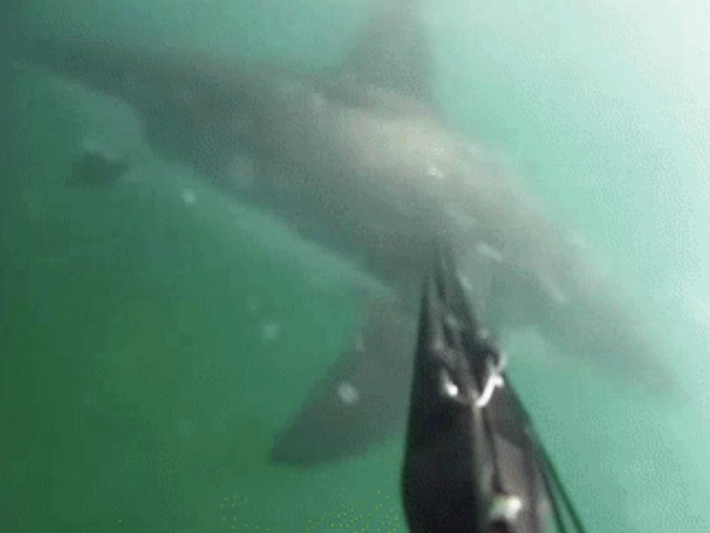 Tubarão branco ataca mergulhador nos EUA