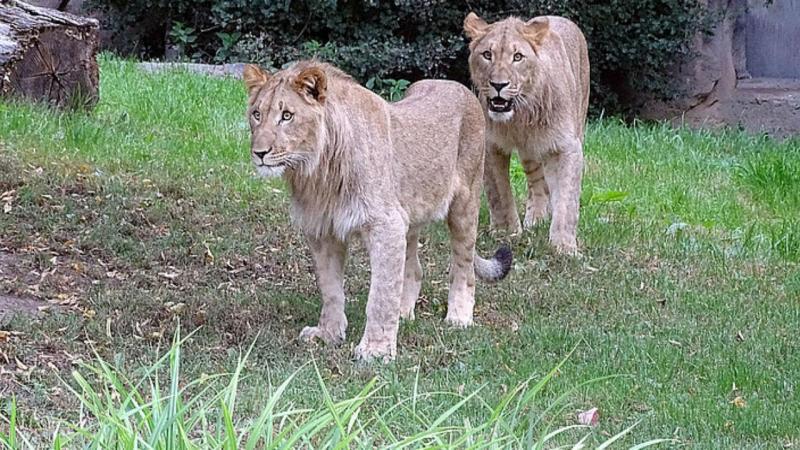 Majo e Motshegetsi fugiram da jaula do zoo de Leipzig
