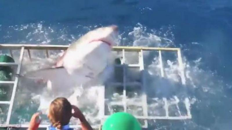 Mergulhador e tubarão