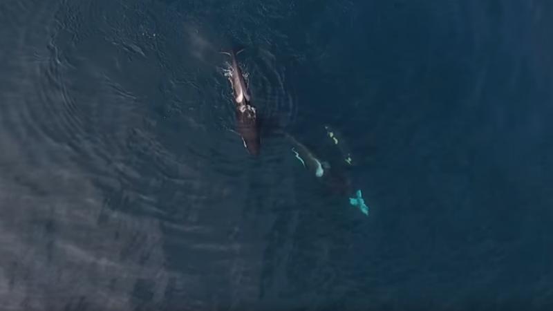 Família de orcas devora um tubarão