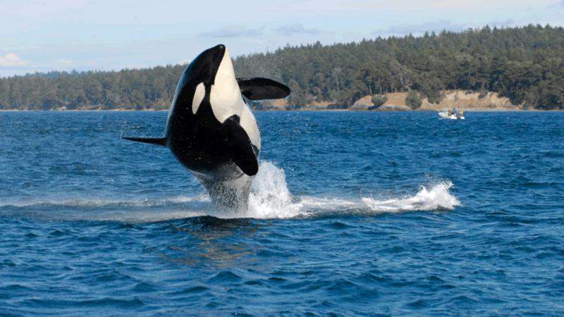 Orca mais velha do mundo morreu