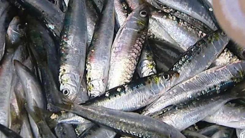 Pesca da sardinha deve ser totalmente suspensa
