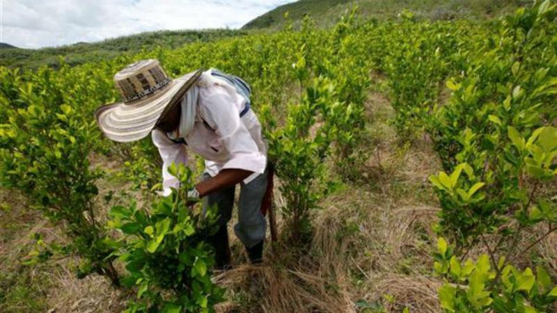 Plantação de coca