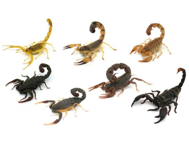 Sentido dos ponteiros do relógio, a partir do canto superior esquerdo: escorpião Amarelo da Palestina (Leiurus quinquestriatus), escorpião de Cauda Grossa (Androctonus australis), escorpião de Amoreux (Androctonus amoreuxi), escorpião Imperador (Pandinus imperator), escorpião Cuspidor (Parabuthus transvaalicus), escorpião de Pernas Amarelas (Hottentotta franzwerneri) e o Hottentotta Negro (Hottentotta gentili)