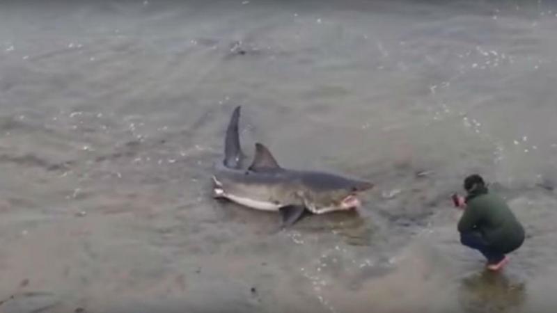Tubarão branco dá à costa em praia da Califórnia