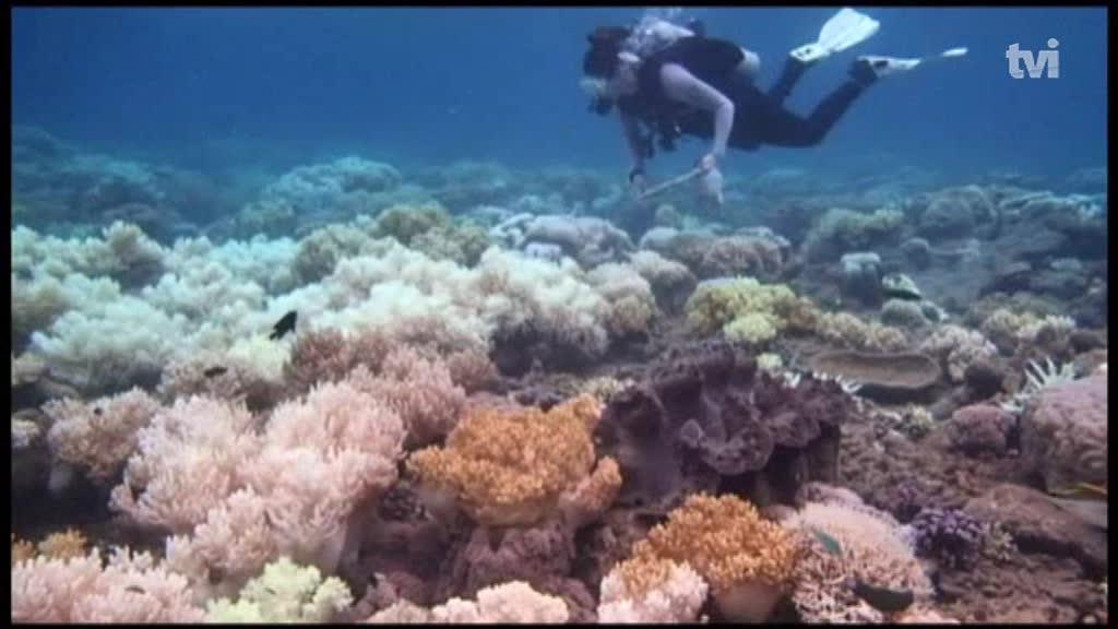 Água mais quente leva corais a soltarem algas que os alimentam