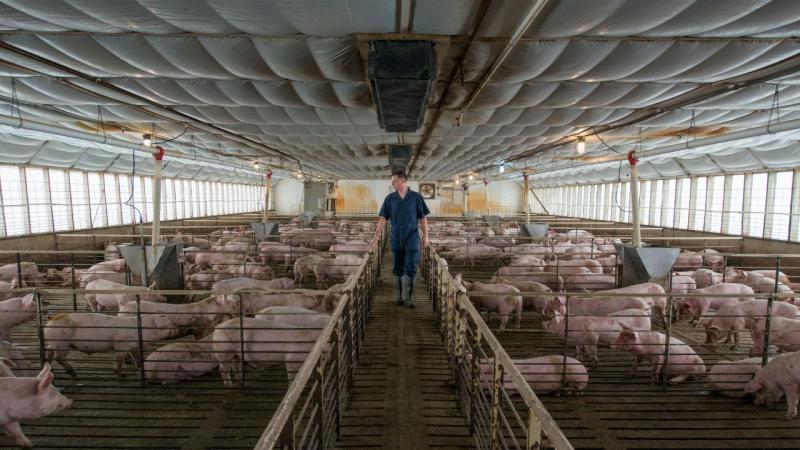 Porcos (arquivo)