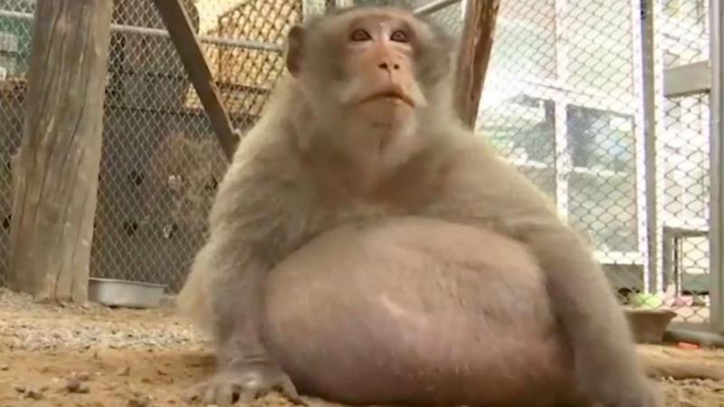 Macaco obeso na Tailândia por causa de turistas