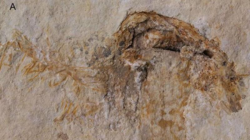 Fóssil de cogumelo com 115 milhões de anos