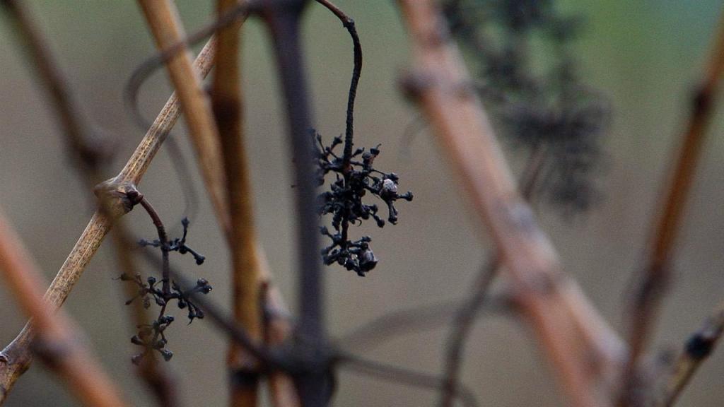 Engaço de uva