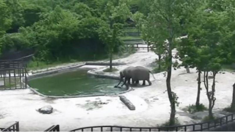Elefantes salvam cria de afogamento