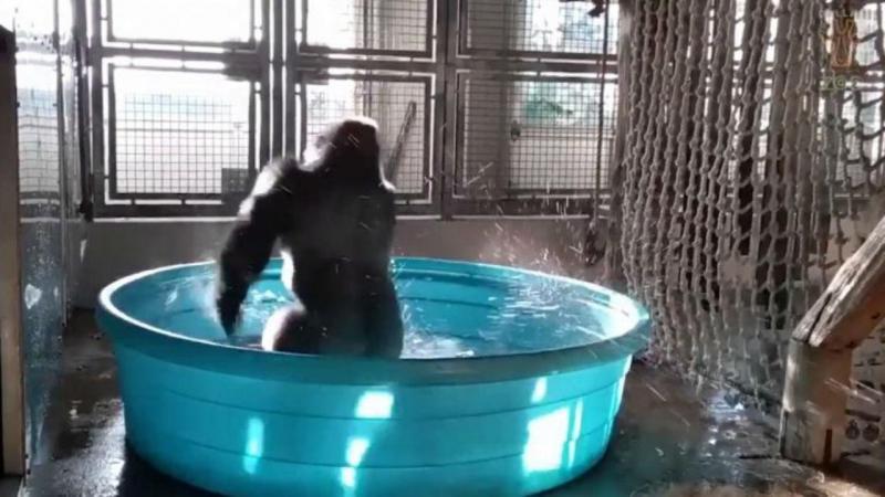 Gorila dançarino
