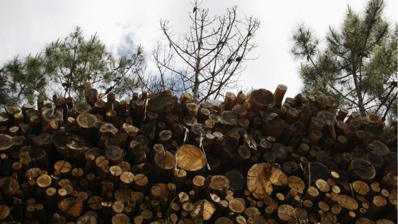 Eucalipto - madeira