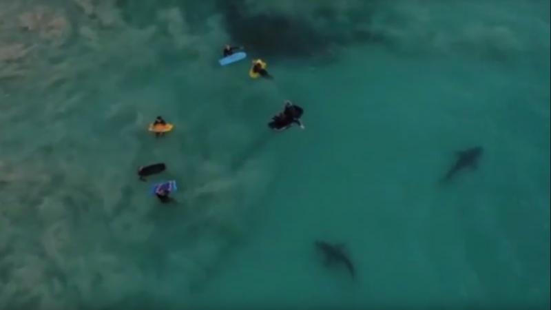 Tubarões a nadar ao é de crianças