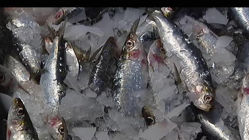 Cientistas recomendam 15 anos de suspensão da pesca de sardinha