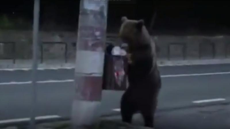 Ursos procuram alimentos nas cidades